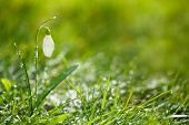 sparkly snowdrop flower, very soft tiny focus, perfect for spring gift card