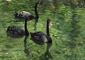 Group Of Black Swans