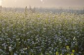 Buckwheat Blossoms On Field And Morning Mist