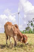 Cow Is Grazing On Meadow Near The Big Windmill In Wind Farm Electricity Plant.