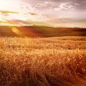 Beautiful autumn wheat field in bright sunset light, morning on Tuscany farmland, autumnal harvest season, bread producing concept, Italy