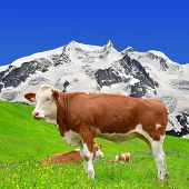 Cow on the meadow.In the background of the Monte Rosa  - Swiss Alps
