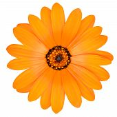stock photo of orange blossom  - Blossoming Orange Pot Marigold Flower  - JPG