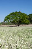 Meadow With Tree