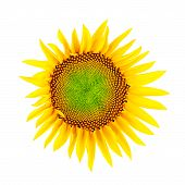 Sunflower; Clipping Path