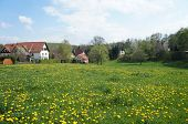 Meadow with dandelion