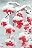 Rowan in the snow