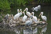 Wedding Pelicans