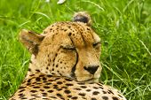 picture of cheetah  - cheetah is on the green grass and sleeping - JPG