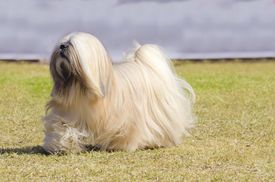 picture of toy dogs  - A small young light tan fawn beige gray and white Lhasa Apso dog with a long silky coat running on the grass - JPG