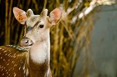 image of deer horn  - Chital or cheetal deer  - JPG