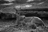 stock photo of deer  - Eld - JPG