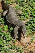 foto of monitor lizard  - water monitor live habitat where is water lake and river - JPG