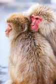 pic of macaque  - Snow Monkeys Japanese Macaques at onsen hot springs at Nagano - JPG