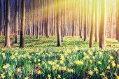 image of daffodils  - Spring forest covered by yellow daffodils - JPG