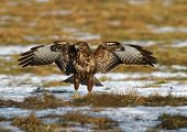 foto of buzzard  - PolandMeadows near Bug river in winter - JPG
