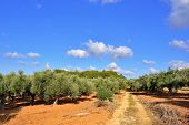 picture of kalamata olives  - Dirt road among olive trees under bright sunlight - JPG