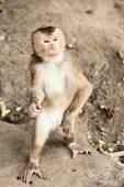stock photo of macaque  - Macaque monkey standing up Chiang Mai Thailand - JPG