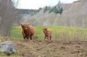 pic of calf cow  - A Highland Cow and her calf looking towards each other.  With a typical Mid Ross agricultural landscape in the background.