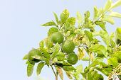 picture of orange-tree  - Green unripe Orange fruit on a branch - JPG