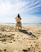 picture of jack russell terrier  - beautiful white jack russel terrier at sea - JPG