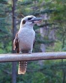 image of kookaburra  - The Laughing Kookaburra  - JPG