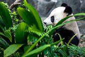 stock photo of panda bear  - Hungry giant panda bear eating bamboo - JPG