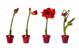 stock photo of defloration  - The sequence of the flowering Hippeastrum red on a white background isolated - JPG