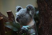 image of koala  - Koala  - JPG