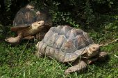 pic of spurs  - African spurred tortoise  - JPG
