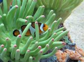 stock photo of clown fish  - A Clown Fish swimming in between reeds - JPG