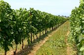 image of vines  - Neat rows of trellised vines in a spring or summer vineyard with grapes ripening on the vine for use in a winery for viticulture and wine making - JPG