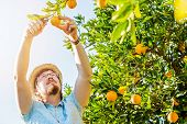 picture of mandarin orange  - Cheerful young man harvests oranges and mandarins on citrus farm on sunny summer day - JPG
