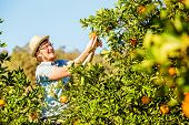 stock photo of mandarin orange  - Cheerful young man harvests oranges and mandarins on citrus farm on sunny summer day - JPG