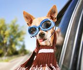 picture of goggles  - a chihuahua riding in a car with his head out the window with goggles on  - JPG