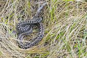 stock photo of dry grass  - Hungarian meadow viper  - JPG