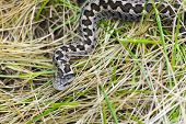 pic of dry grass  - Hungarian meadow viper  - JPG