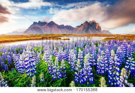 Majestic lupine flowers glowing by