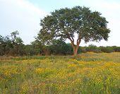 Oak Tree An Flowers