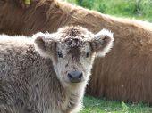 Highland Cow Calf