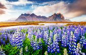 Majestic lupine flowers glowing by sunlight. Unusual and gorgeous scene. Popular tourist attraction. poster