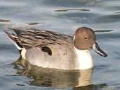 picture of pintail  - A close up image of a male Northern Pintail Anas acuta immaculate feather and one of the prettiest ducks - JPG