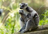 Mother And Baby Ring-Tailed Lemur
