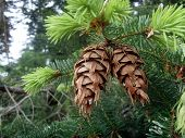 Douglas Pine Cones