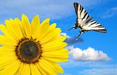 stock photo of monarch butterfly  - beautiful sunflower with tiger swallowtail - JPG