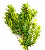 stock photo of nana  - Taxus cuspidata  - JPG