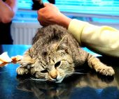 stock photo of castrate  - cat castration - JPG