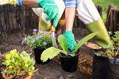 Mature female gardener planting potted plants at garden poster