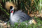 Black Crowned Crane in nature