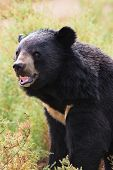 tibetan bear roar ferocity in nature